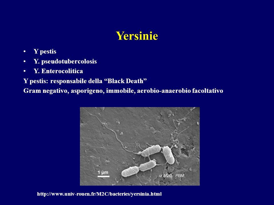 Yersinie Y pestis Y. pseudotubercolosis Y. Enterocolitica Y pestis: responsabile della Black Death Gram negativo, asporigeno, immobile, aerobio-anaero