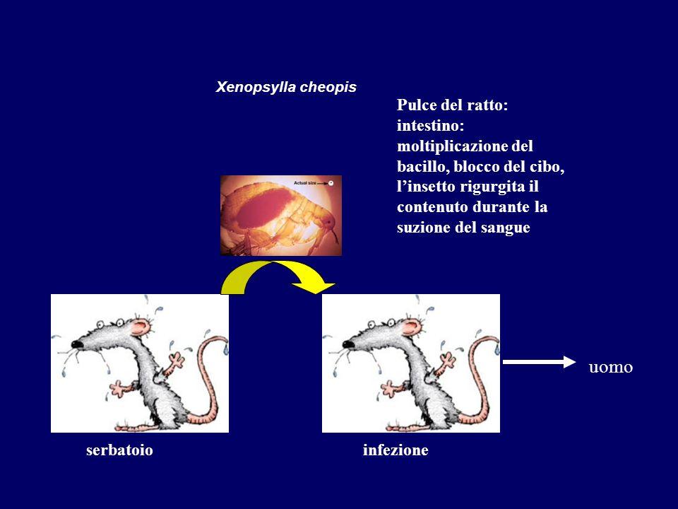 Xenopsylla cheopis serbatoio Pulce del ratto: intestino: moltiplicazione del bacillo, blocco del cibo, linsetto rigurgita il contenuto durante la suzi