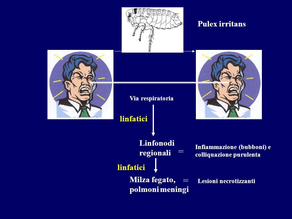 Pulex irritans Via respiratoria linfatici Linfonodi regionali Infiammazione (bubboni) e colliquazione purulenta = Milza fegato, polmoni meningi linfat