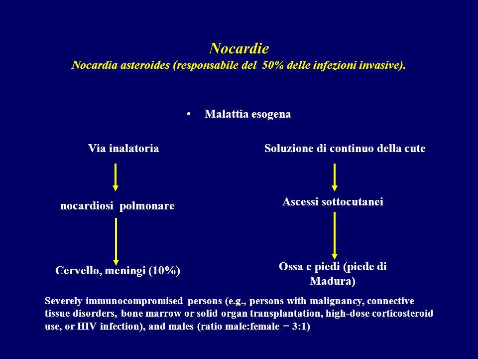 Nocardie Nocardia asteroides (responsabile del 50% delle infezioni invasive). Malattia esogena Via inalatoria Soluzione di continuo della cute nocardi