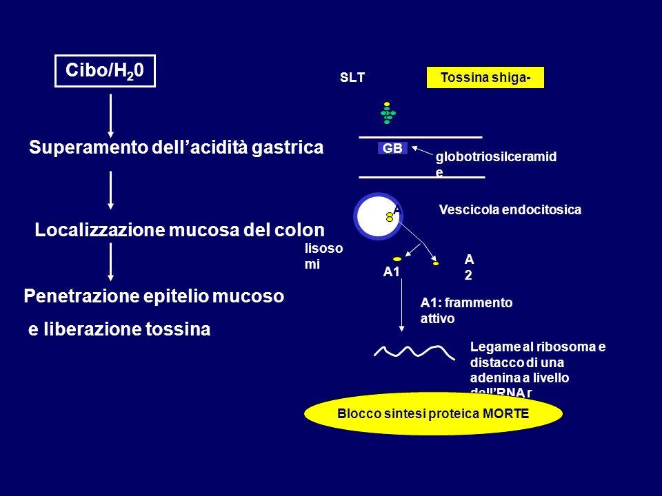 Localizzazione mucosa del colon Cibo/H 2 0 Superamento dellacidità gastrica Penetrazione epitelio mucoso e liberazione tossina SLT GB Vescicola endoci