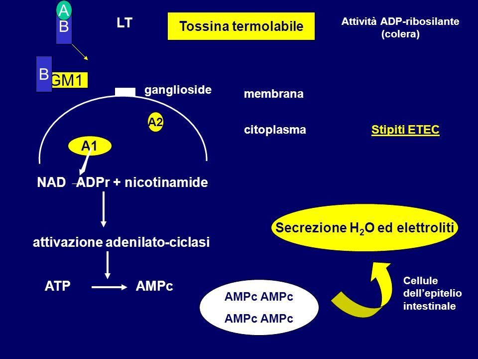 B LT membrana citoplasma A GM1 A1 NAD ADPr + nicotinamide attivazione adenilato-ciclasi ATP AMPc Secrezione H 2 O ed elettroliti A2 Tossina termolabil