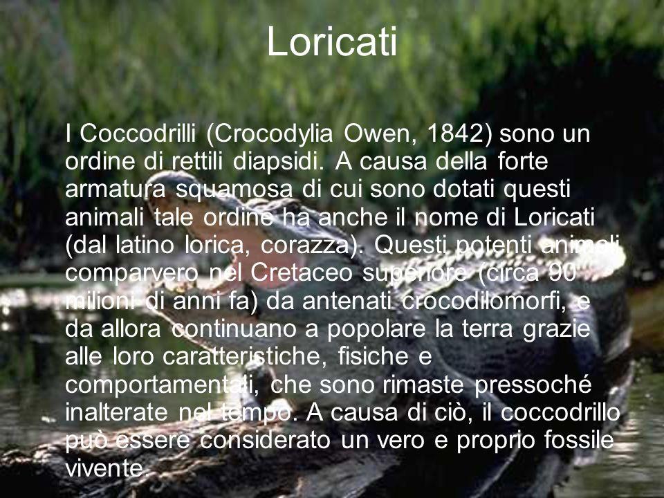 Loricati I Coccodrilli (Crocodylia Owen, 1842) sono un ordine di rettili diapsidi. A causa della forte armatura squamosa di cui sono dotati questi ani