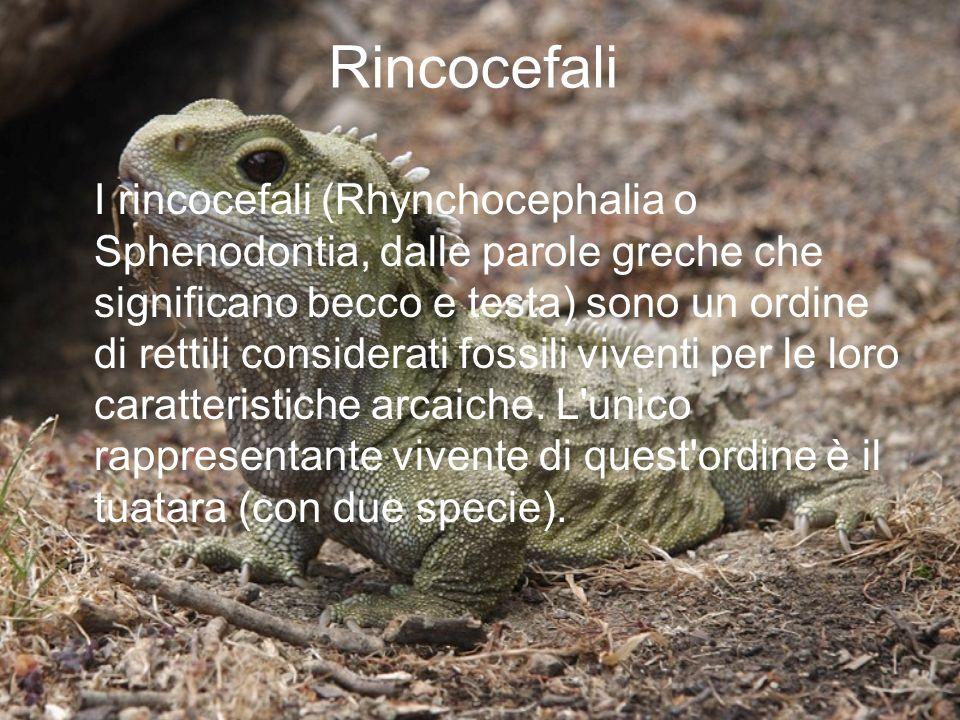 Rincocefali I rincocefali (Rhynchocephalia o Sphenodontia, dalle parole greche che significano becco e testa) sono un ordine di rettili considerati fo