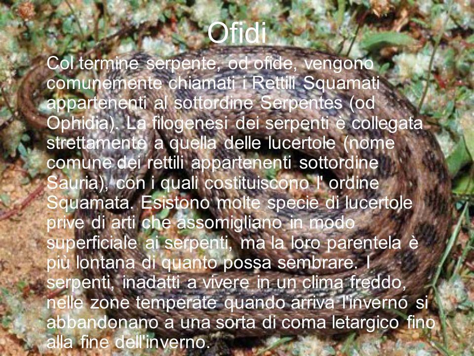 Ofidi Col termine serpente, od ofide, vengono comunemente chiamati i Rettili Squamati appartenenti al sottordine Serpentes (od Ophidia). La filogenesi