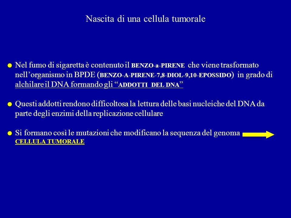 Nascita di una cellula tumorale Nel fumo di sigaretta è contenuto il BENZO-a-PIRENE che viene trasformato nellorganismo in BPDE ( BENZO-A-PIRENE-7,8-D