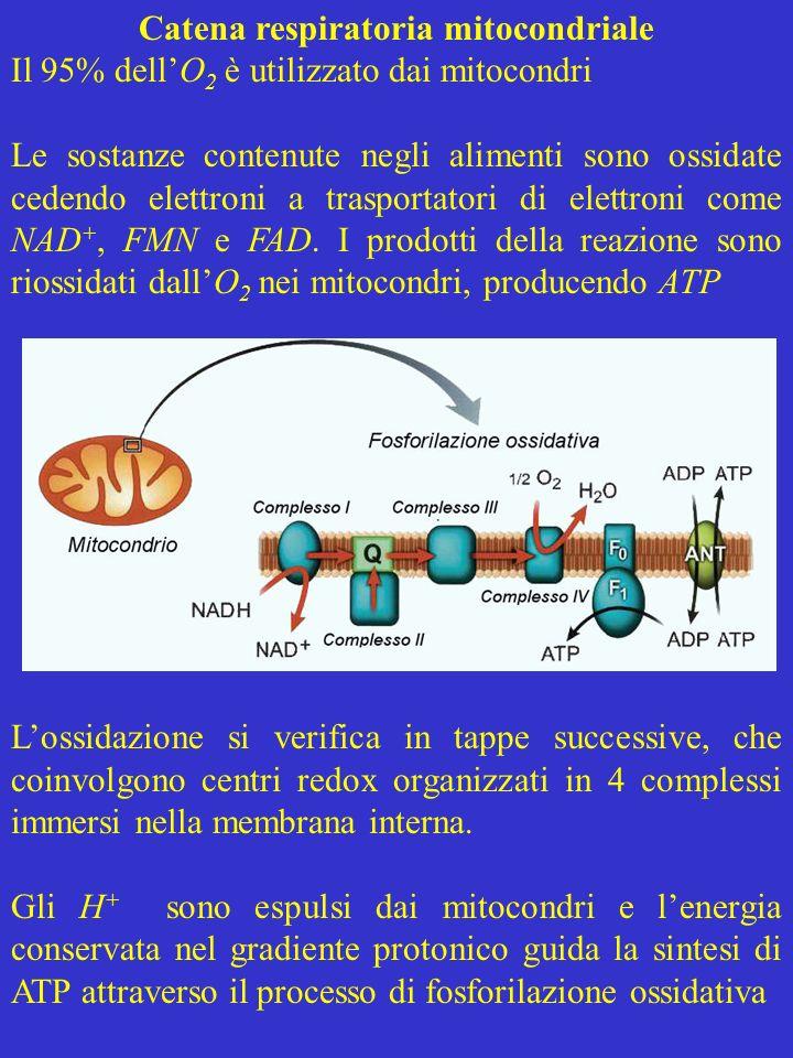 Catena respiratoria mitocondriale Il 95% dellO 2 è utilizzato dai mitocondri Le sostanze contenute negli alimenti sono ossidate cedendo elettroni a tr