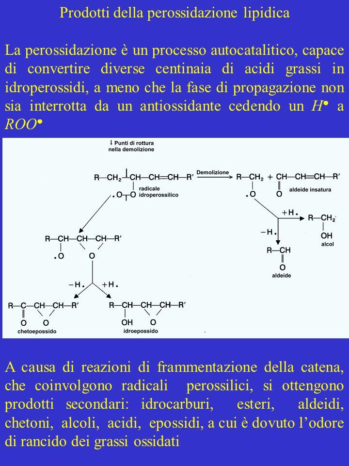 Prodotti della perossidazione lipidica La perossidazione è un processo autocatalitico, capace di convertire diverse centinaia di acidi grassi in idrop