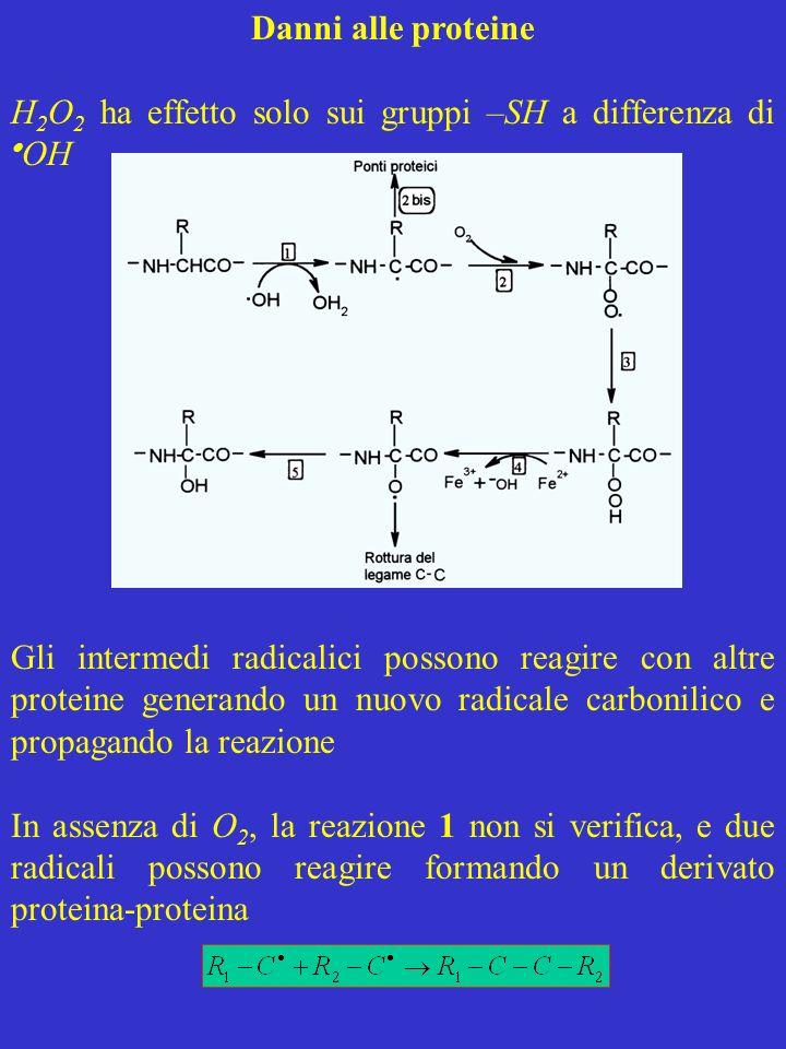 Danni alle proteine H 2 O 2 ha effetto solo sui gruppi –SH a differenza di OH Gli intermedi radicalici possono reagire con altre proteine generando un