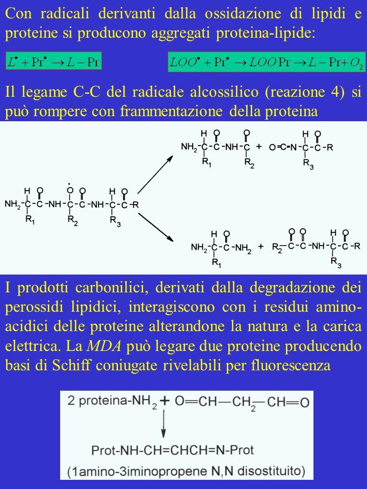 Con radicali derivanti dalla ossidazione di lipidi e proteine si producono aggregati proteina-lipide: Il legame C-C del radicale alcossilico (reazione