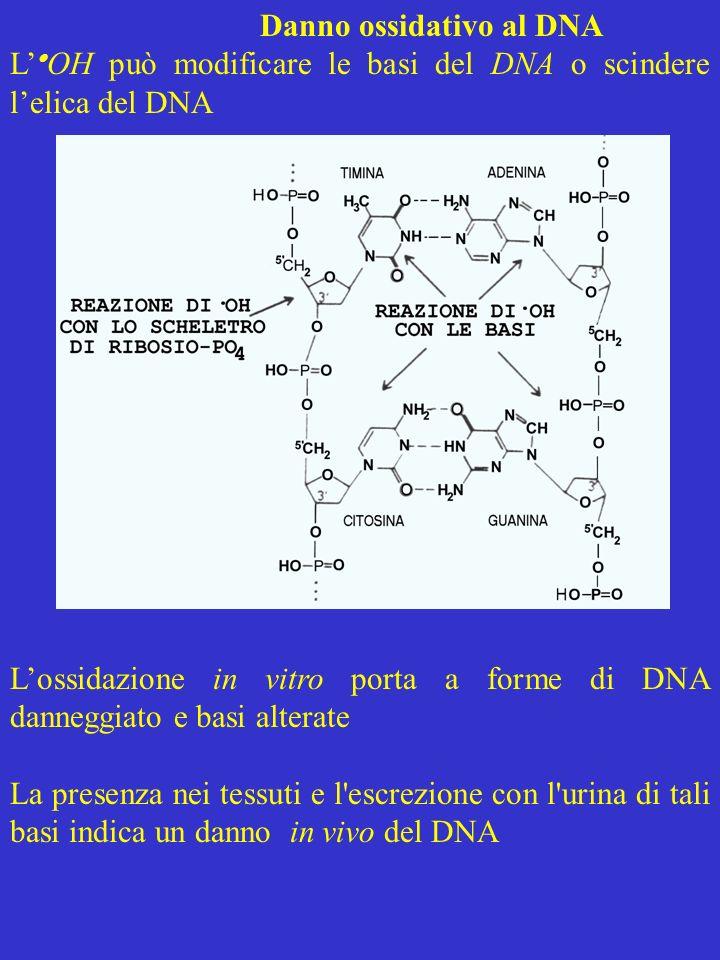 Danno ossidativo al DNA L OH può modificare le basi del DNA o scindere lelica del DNA Lossidazione in vitro porta a forme di DNA danneggiato e basi al