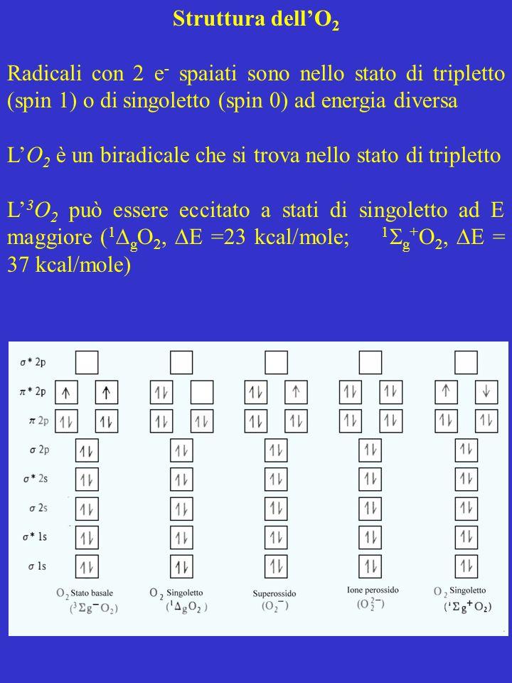 Struttura dellO 2 Radicali con 2 e - spaiati sono nello stato di tripletto (spin 1) o di singoletto (spin 0) ad energia diversa LO 2 è un biradicale c