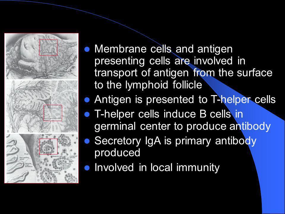 Funzione immunologica età dipendente linfociti T zone peri ed interfollicolari linfociti B centri germinativi IgG>> fino ai 5-6 anni IgM< con letà IgAs> con letà IgE variabili Linfochine