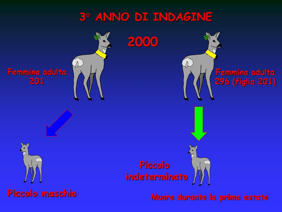 3° ANNO DI INDAGINE 2000 Piccolo maschio Muore durante la prima estate Femmina adulta 201 296 (figlia 201) Piccoloindeterminato