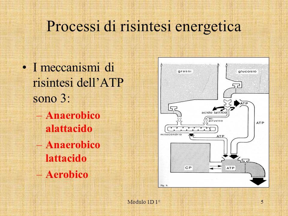 Modulo 1D 1°5 Processi di risintesi energetica I meccanismi di risintesi dellATP sono 3: –Anaerobico alattacido –Anaerobico lattacido –Aerobico