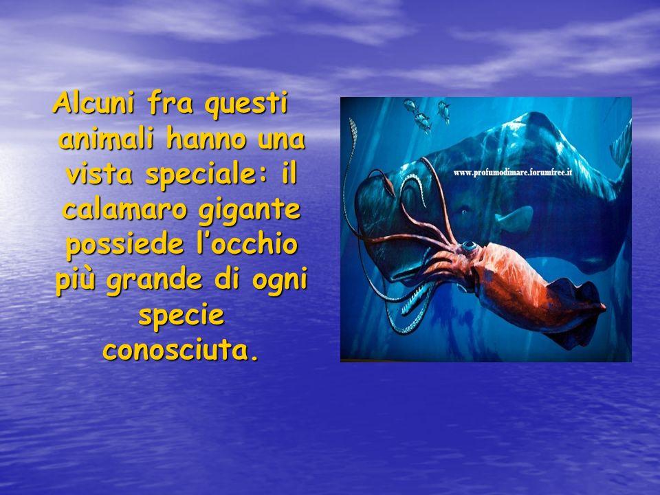 Alcuni fra questi animali hanno una vista speciale: il calamaro gigante possiede locchio più grande di ogni specie conosciuta.