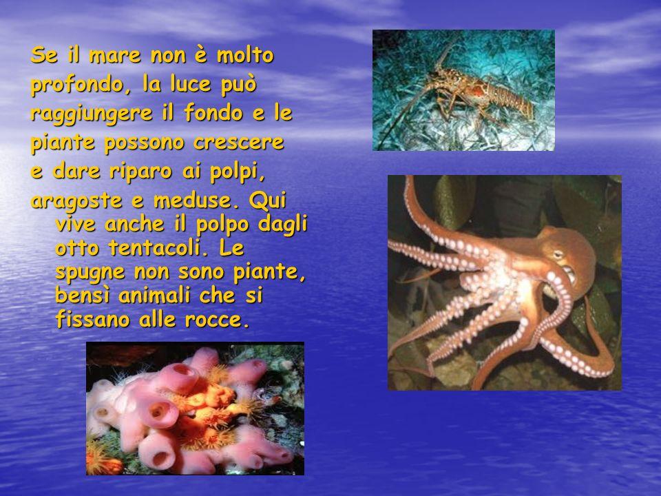 Se il mare non è molto profondo, la luce può raggiungere il fondo e le piante possono crescere e dare riparo ai polpi, aragoste e meduse. Qui vive anc
