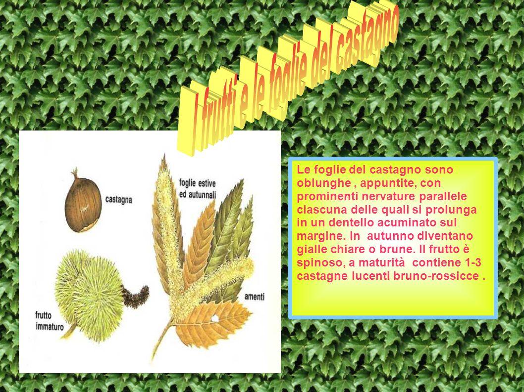Le foglie del castagno sono oblunghe, appuntite, con prominenti nervature parallele ciascuna delle quali si prolunga in un dentello acuminato sul marg