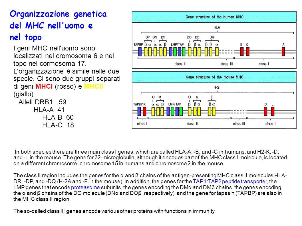 Rigetto di trapianto Il rigetto del trapianto cutaneo è dovuto a una risposta mediata dalle cellule T.