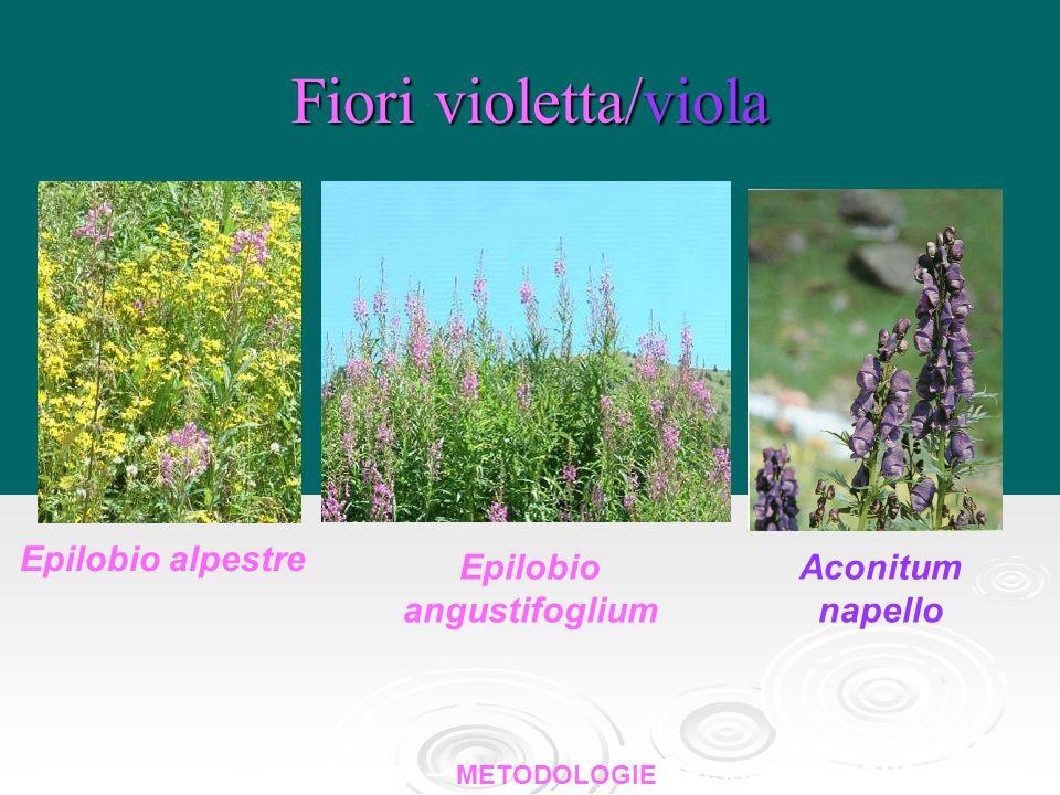Fiori violetta/viola Epilobio alpestre Epilobio angustifoglium Aconitum napello INTRODUZIONE – OBBIETTIVI – METODOLOGIE – RISULTATI - CONCLUSIONI