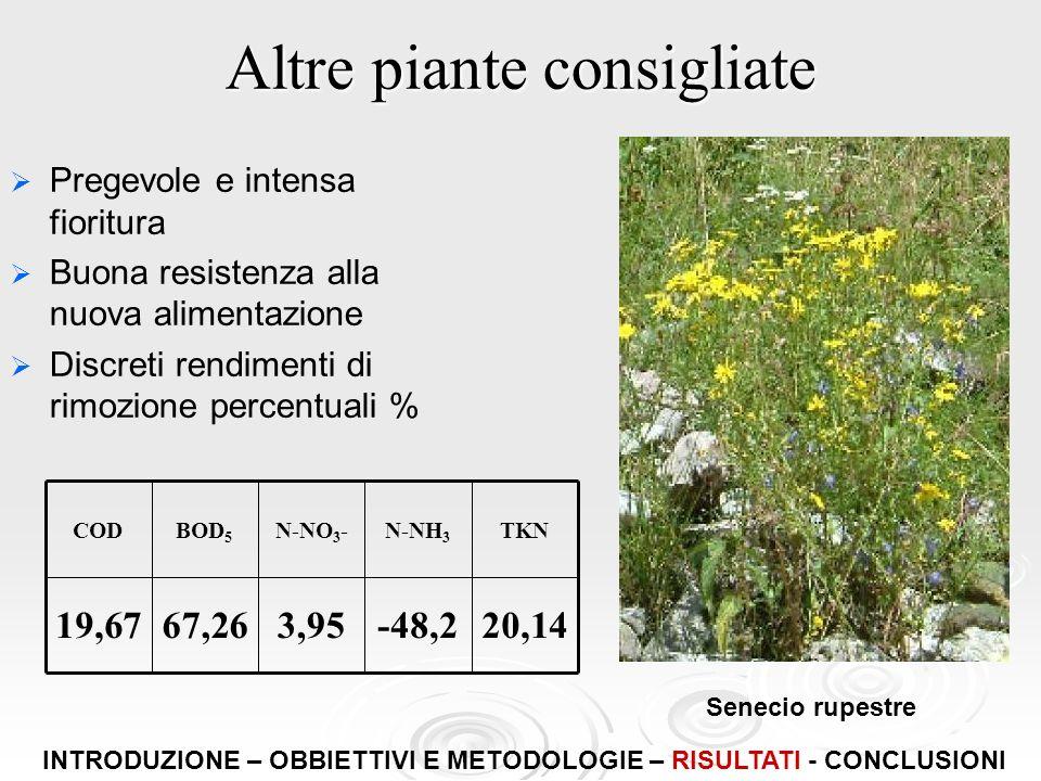 Altre piante consigliate Pregevole e intensa fioritura Buona resistenza alla nuova alimentazione Discreti rendimenti di rimozione percentuali % Seneci