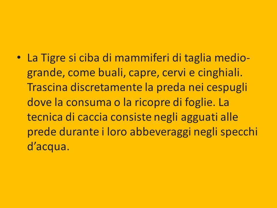 La Tigre si ciba di mammiferi di taglia medio- grande, come buali, capre, cervi e cinghiali. Trascina discretamente la preda nei cespugli dove la cons