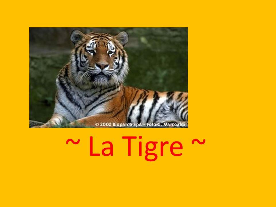 ~ La Tigre ~