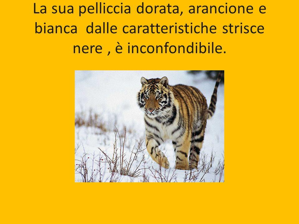 La sua pelliccia dorata, arancione e bianca dalle caratteristiche strisce nere, è inconfondibile.