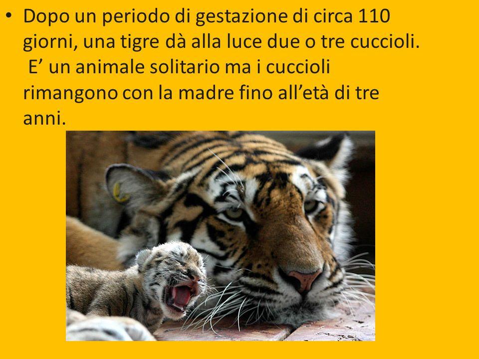 madre fino all'età di tre anni. Dopo un periodo di gestazione di circa 110 giorni, una tigre dà alla luce due o tre cuccioli. E un animale solitario m