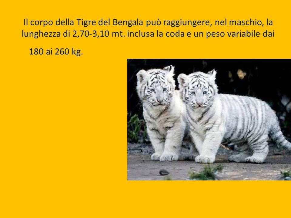 Il corpo della Tigre del Bengala può raggiungere, nel maschio, la lunghezza di 2,70-3,10 mt. inclusa la coda e un peso variabile dai 180 ai 260 kg. Le