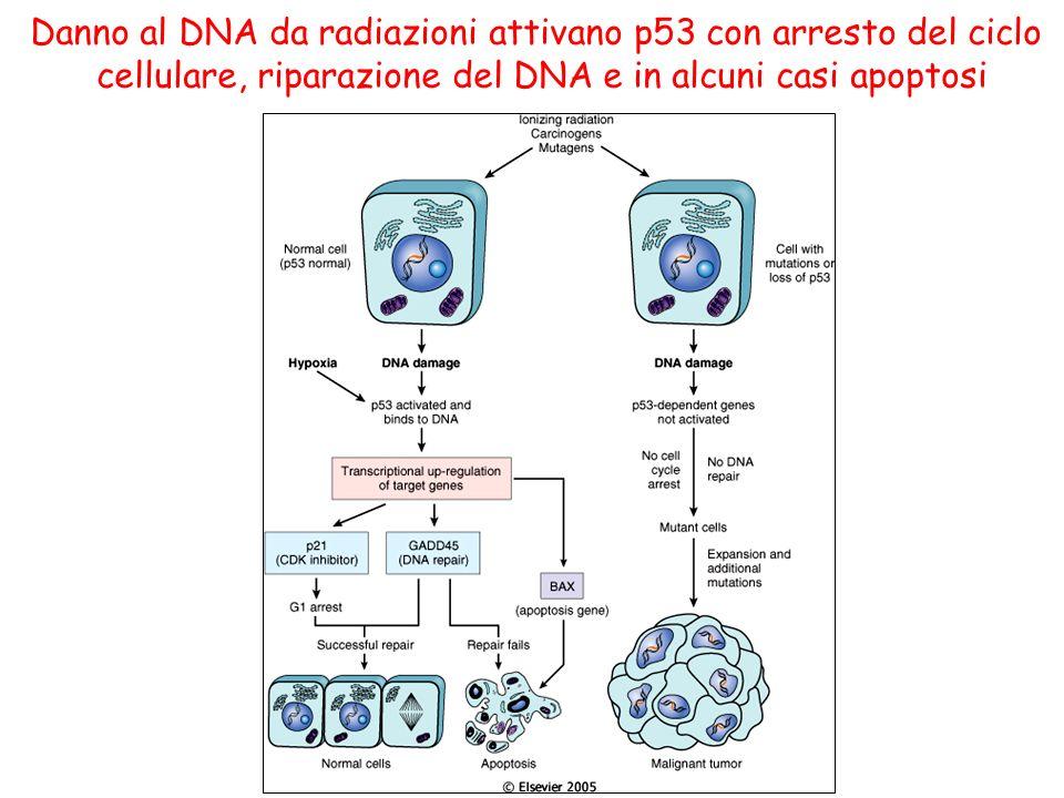 Danno al DNA da radiazioni attivano p53 con arresto del ciclo cellulare, riparazione del DNA e in alcuni casi apoptosi