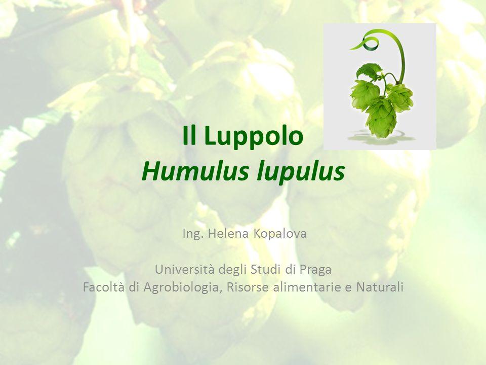 Il Luppolo Humulus lupulus Ing. Helena Kopalova Università degli Studi di Praga Facoltà di Agrobiologia, Risorse alimentarie e Naturali