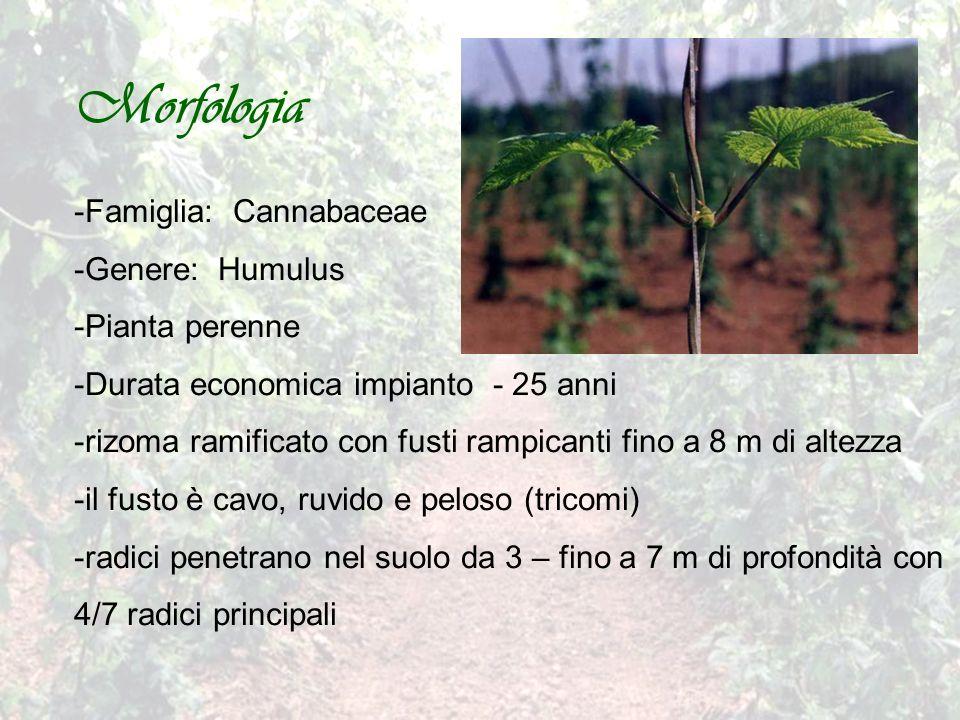 Morfologia -Famiglia: Cannabaceae -Genere: Humulus -Pianta perenne -Durata economica impianto - 25 anni -rizoma ramificato con fusti rampicanti fino a