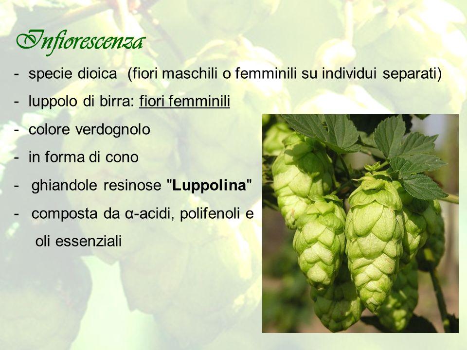 Infiorescenza -specie dioica (fiori maschili o femminili su individui separati) -luppolo di birra: fiori femminili -colore verdognolo -in forma di con