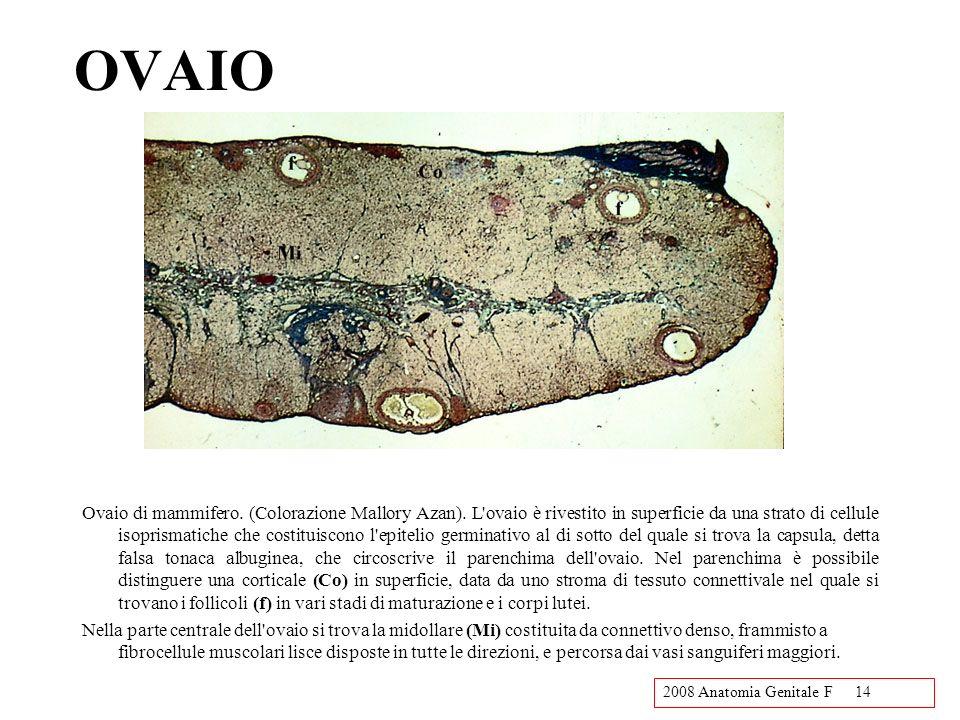 2008 Anatomia Genitale F14 OVAIO Ovaio di mammifero. (Colorazione Mallory Azan). L'ovaio è rivestito in superficie da una strato di cellule isoprismat