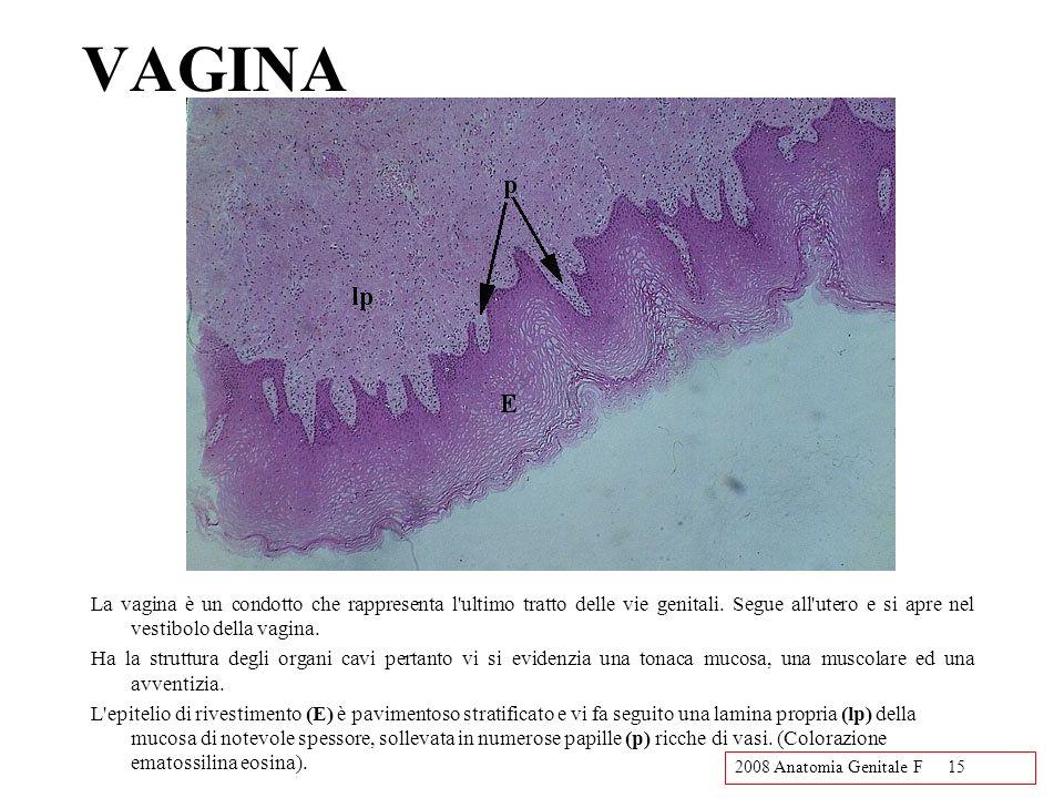 2008 Anatomia Genitale F15 VAGINA La vagina è un condotto che rappresenta l'ultimo tratto delle vie genitali. Segue all'utero e si apre nel vestibolo