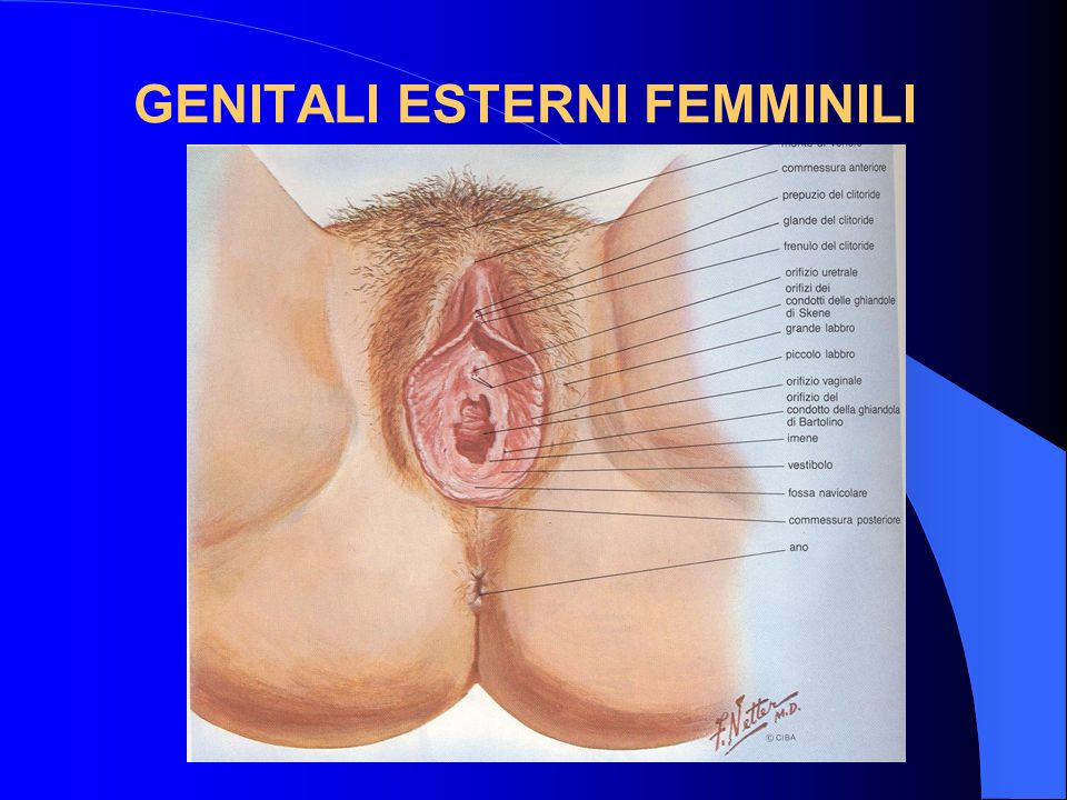 GENITALI ESTERNI FEMMINILI
