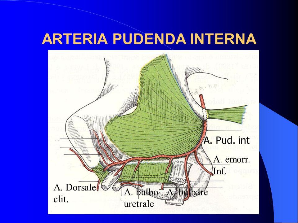 ARTERIA PUDENDA INTERNA A. Pud. int A. bulbo- A. bulbare uretrale A. Dorsale clit. A. emorr. Inf.