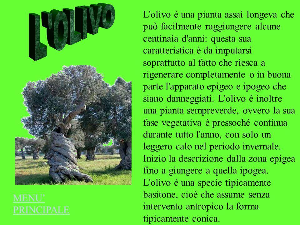 L'olivo è una pianta assai longeva che può facilmente raggiungere alcune centinaia d'anni: questa sua caratteristica è da imputarsi soprattutto al fat