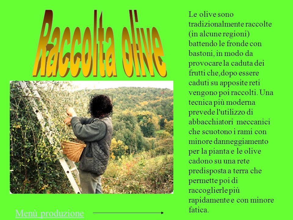 Le olive sono tradizionalmente raccolte (in alcune regioni) battendo le fronde con bastoni, in modo da provocare la caduta dei frutti che,dopo essere