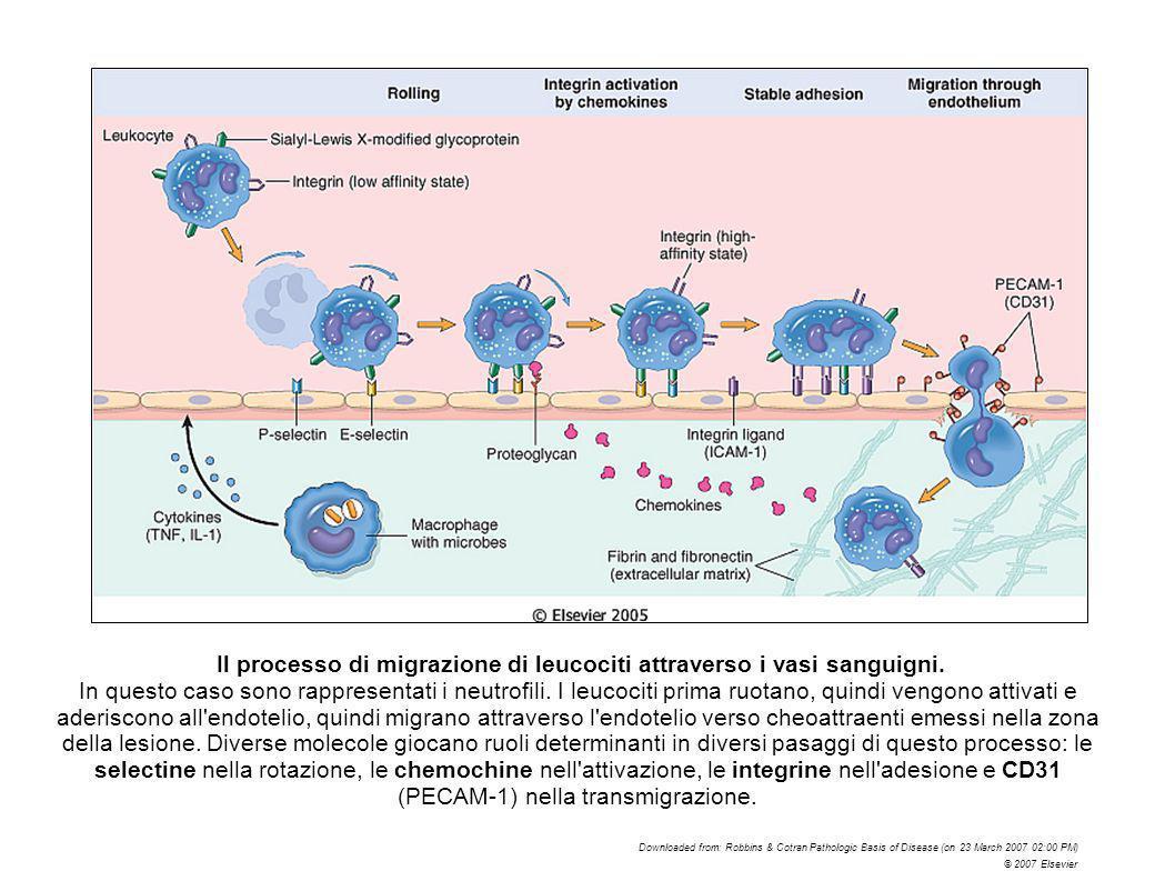 Il processo di migrazione di leucociti attraverso i vasi sanguigni. In questo caso sono rappresentati i neutrofili. I leucociti prima ruotano, quindi