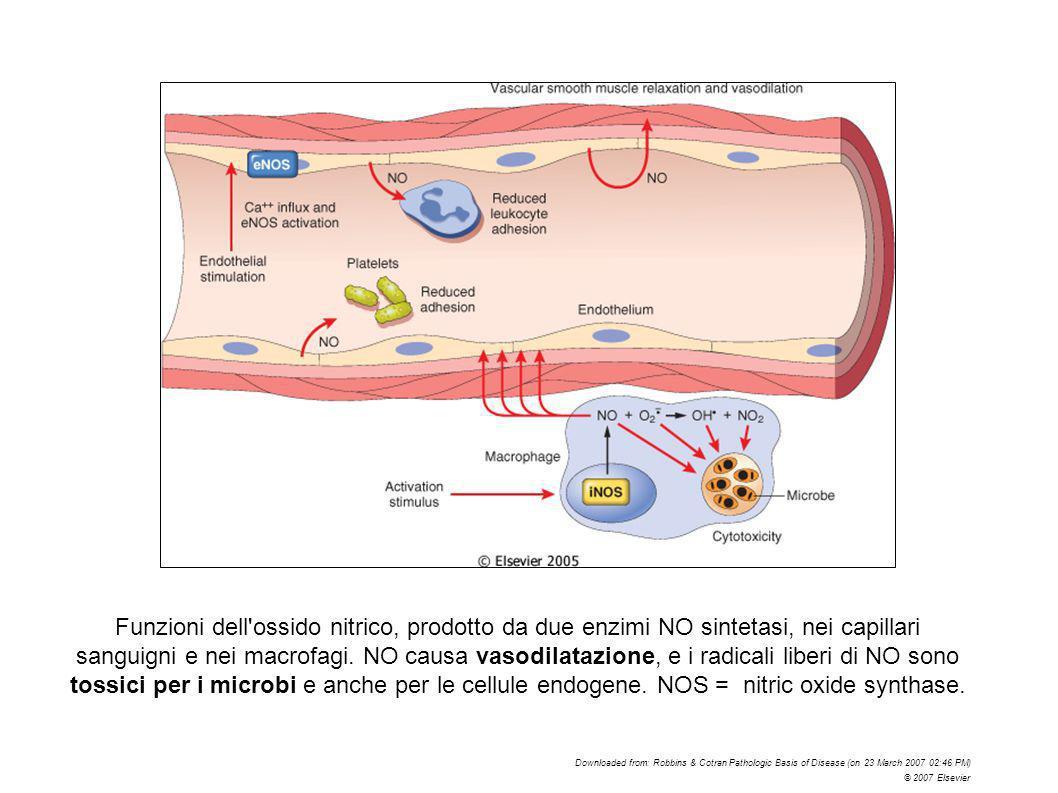 Funzioni dell'ossido nitrico, prodotto da due enzimi NO sintetasi, nei capillari sanguigni e nei macrofagi. NO causa vasodilatazione, e i radicali lib
