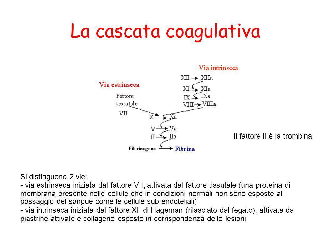 La cascata coagulativa Si distinguono 2 vie: - via estrinseca iniziata dal fattore VII, attivata dal fattore tissutale (una proteina di membrana prese