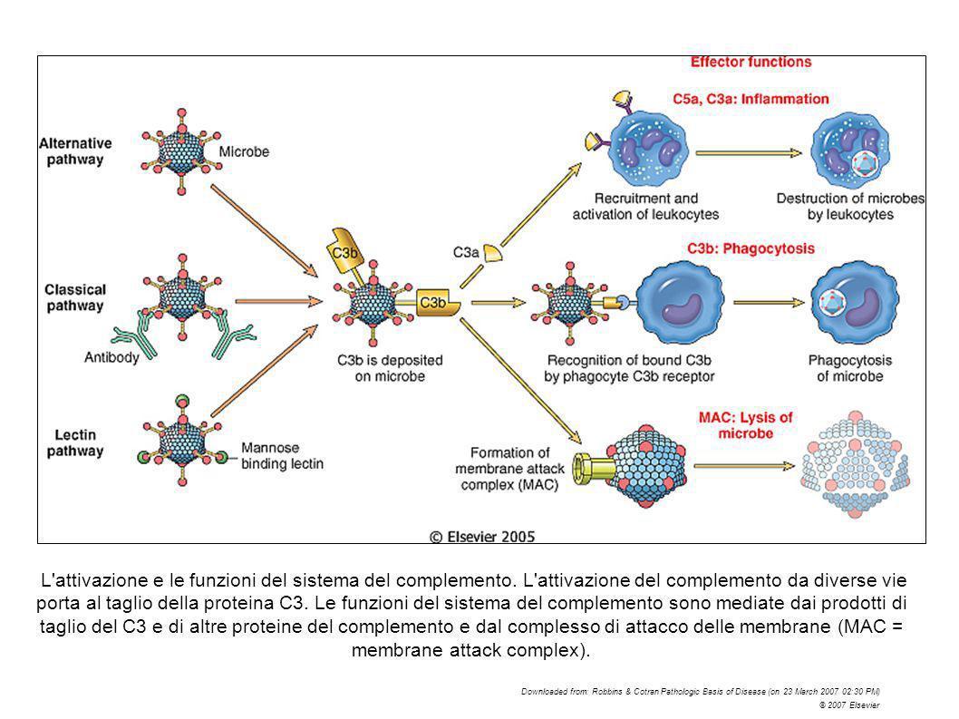 L'attivazione e le funzioni del sistema del complemento. L'attivazione del complemento da diverse vie porta al taglio della proteina C3. Le funzioni d