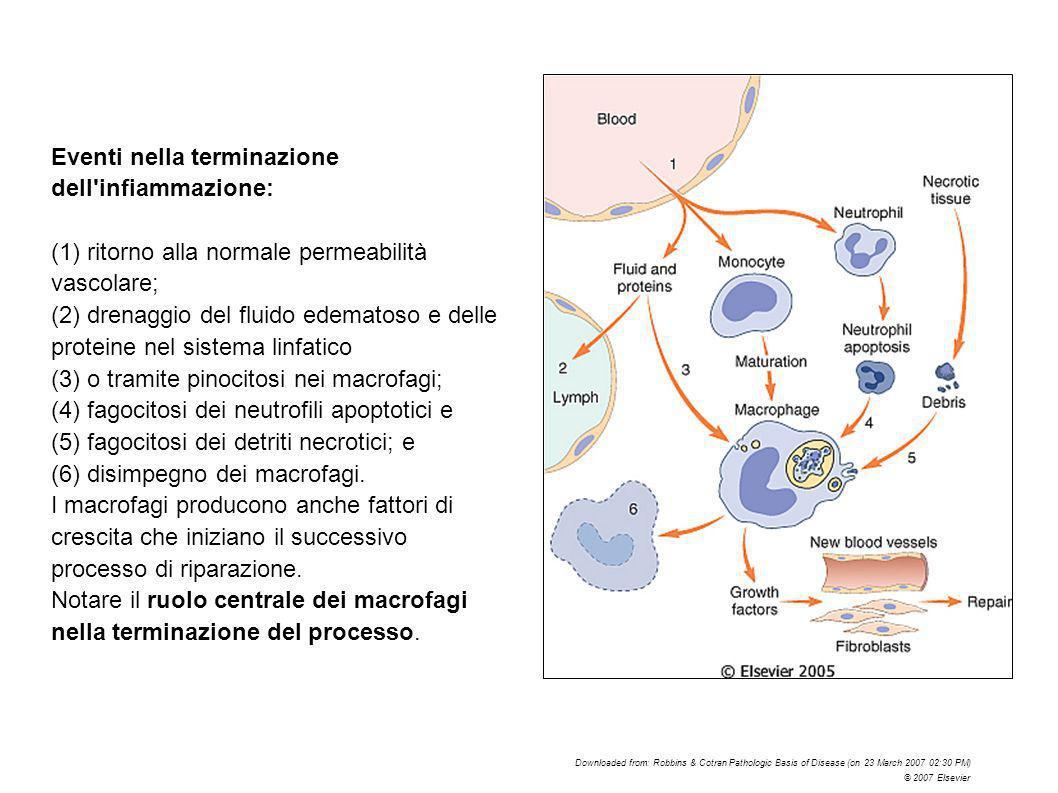 Eventi nella terminazione dell'infiammazione: (1) ritorno alla normale permeabilità vascolare; (2) drenaggio del fluido edematoso e delle proteine nel