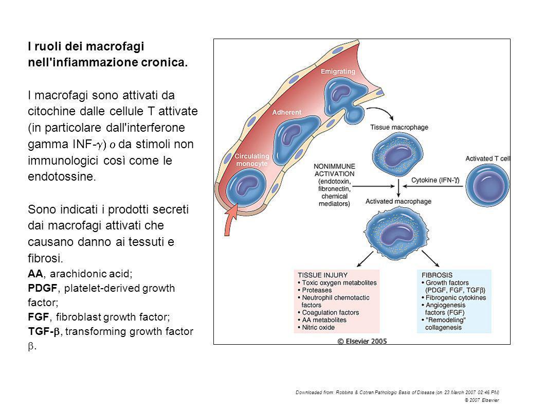 I ruoli dei macrofagi nell'infiammazione cronica. I macrofagi sono attivati da citochine dalle cellule T attivate (in particolare dall'interferone gam