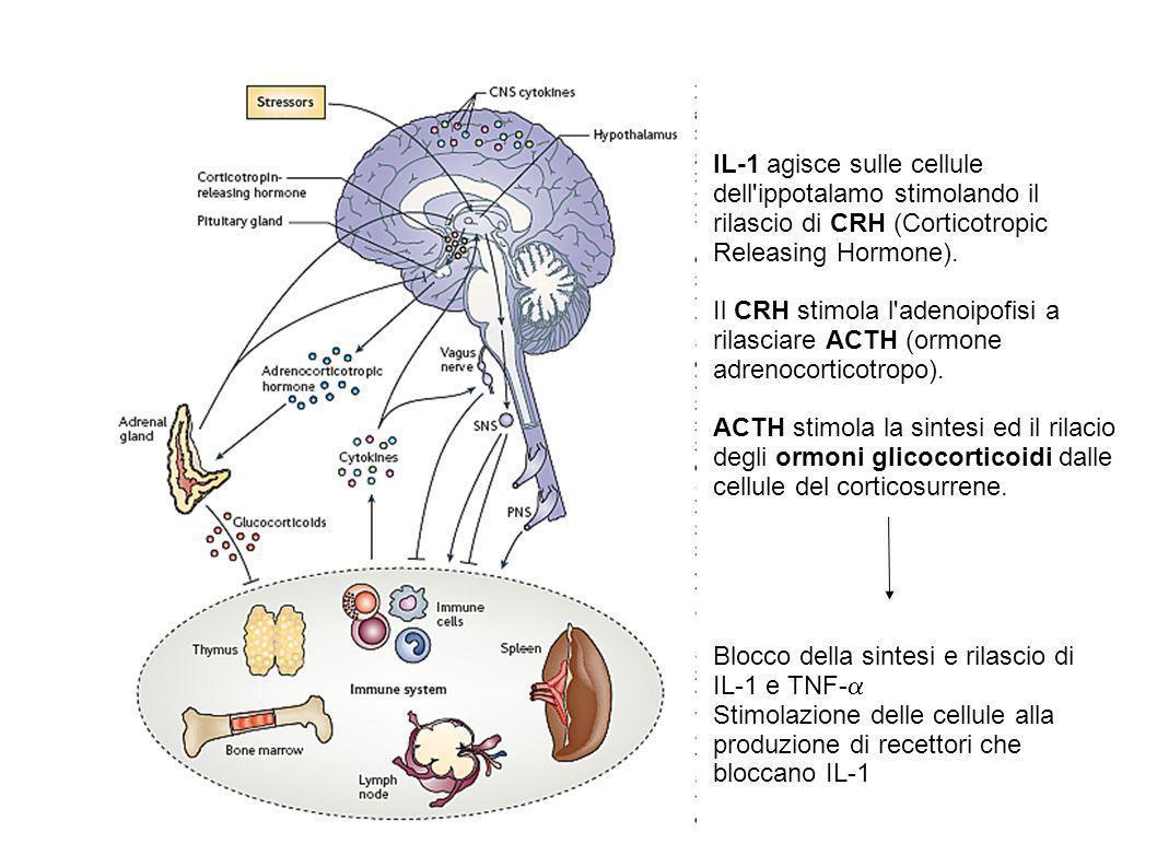 IL-1 agisce sulle cellule dell'ippotalamo stimolando il rilascio di CRH (Corticotropic Releasing Hormone). Il CRH stimola l'adenoipofisi a rilasciare