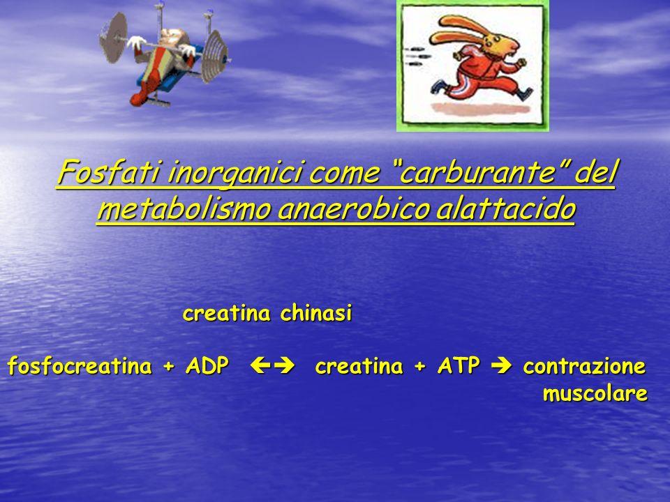 CREATINA Sintesi endogena (da glicina e arginina) Assunzione alimentare (sptt. carne) Depositata al 95% nel muscolo Trasformata in creatinina ed escre
