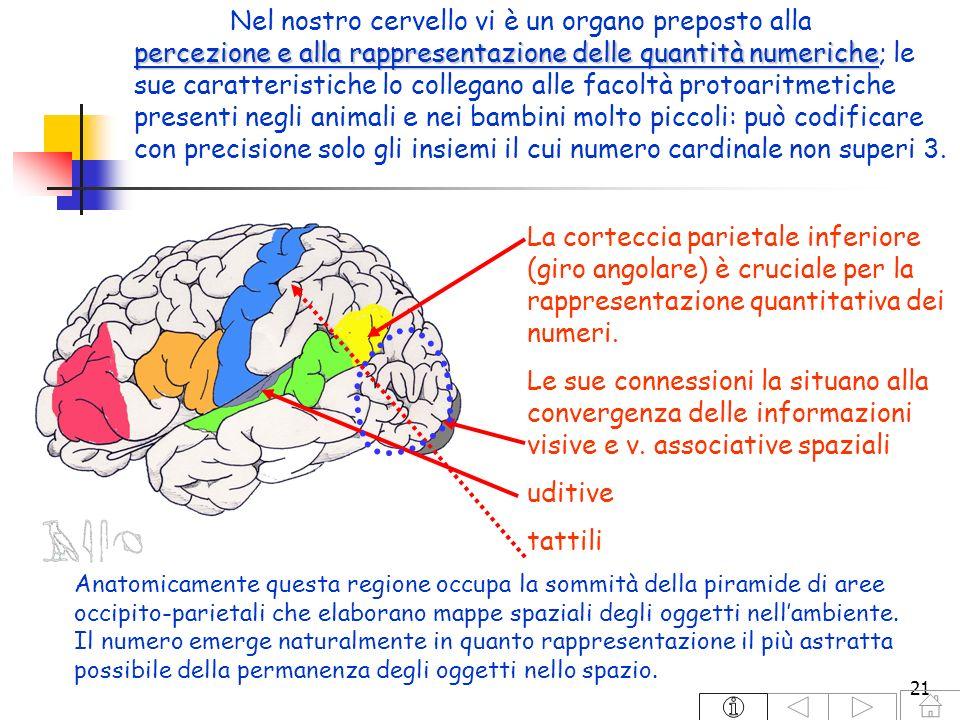 21 percezione e alla rappresentazione delle quantità numeriche Nel nostro cervello vi è un organo preposto alla percezione e alla rappresentazione del