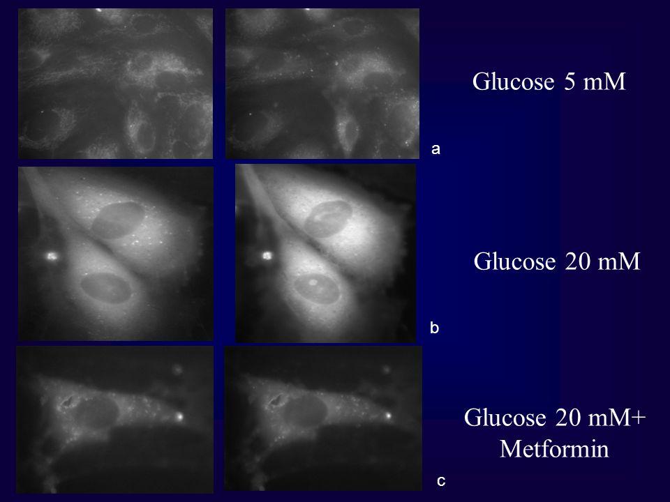 a c b Glucose 5 mM Glucose 20 mM Glucose 20 mM+ Metformin
